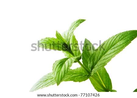 Mint leaf - stock photo