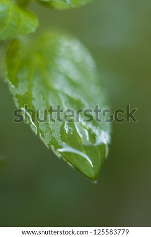 Mint leaf with drop of water on end
