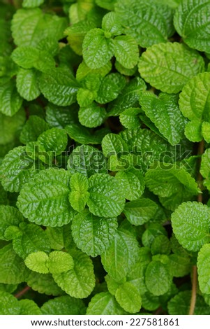 Mint leaves background - stock photo