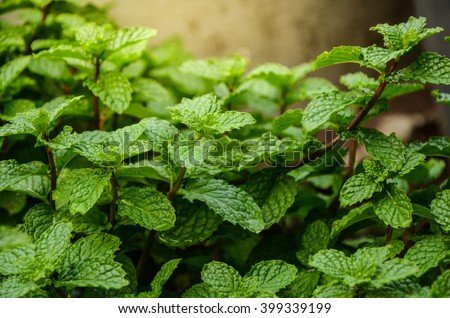 Mint leaves background.Mint leaf green plants with aromatic properties of strong teeth and fresh ivy as a ground cover plant types .Tropical Vegetables  - stock photo