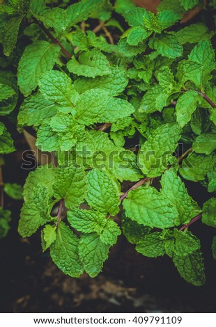 mint leaves.fresh mint leaves.Fresh mint  copy space. Selective focus. Mint leaves background.Pepper mint leaves.Fresh mint in bowl - stock photo