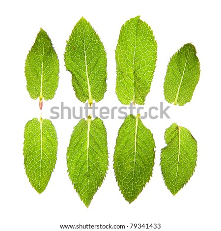 Mint leaves isolated on white. - stock photo