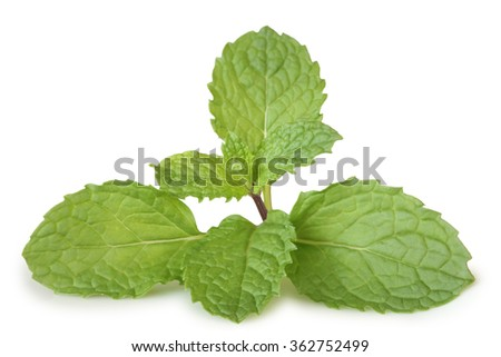 mint leaves isolated on white background . This has clipping path. - stock photo