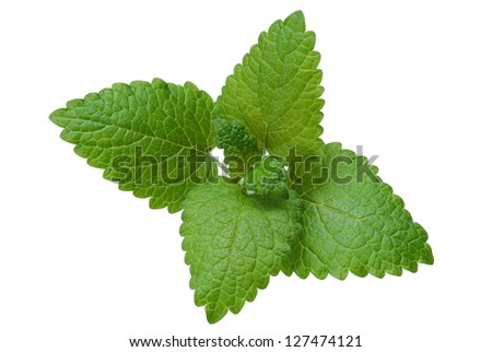 mint leaves on a white background - stock photo