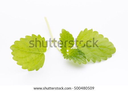 Mint leaves on the white background.