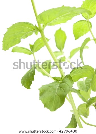 Mint plant closeup isolated on white.