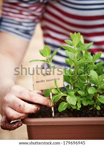 Mint plant in pot on urban garden - stock photo