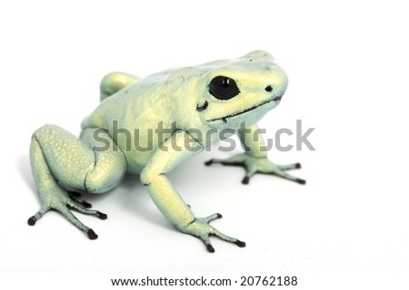 Mint Terribilis Dart frog (Phyllobates terribilis) on white background. - stock photo