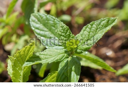 Mint with water drops, shallow depth of field, purposely blurred, selective focus on the drop - stock photo