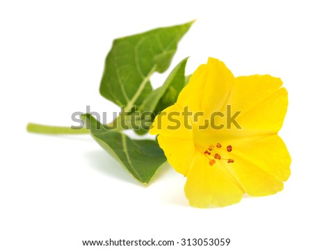 Mirabilis or four o'clock flowers on a white background