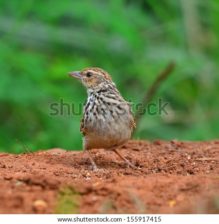 Mirafra marionae ( Indochinese Bushlark ) on ground