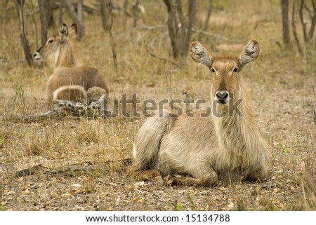 mirror image of two waterbucks lying on the ground - stock photo