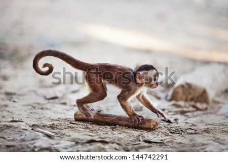 Misahualli, Ecuador. Baby Capuchin monkey in the town of Misahualli, the monkeys run free. - stock photo