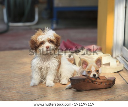 misbehave dog and shoe biting  problem use for damage of shoes from misbehave dog puppy in home pets - stock photo