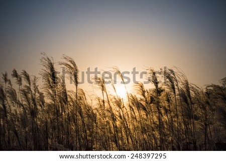 miscanthus flowers in the sunset , energy crops to produce biofuels ,dye plants - stock photo