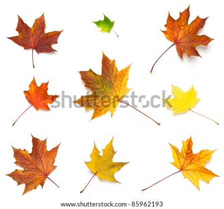 Miscellaneous fall maple leaves, isolated on white. - stock photo