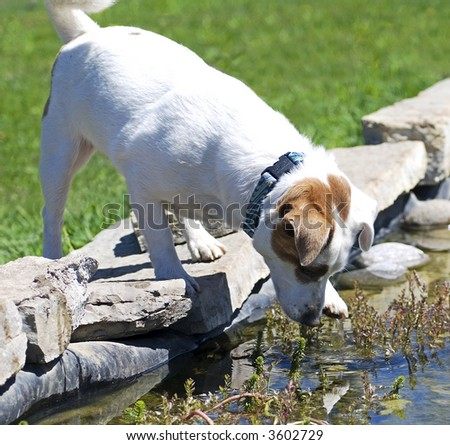 Mischievous Jack Russell terrier hunting for frogs in a pond - stock photo