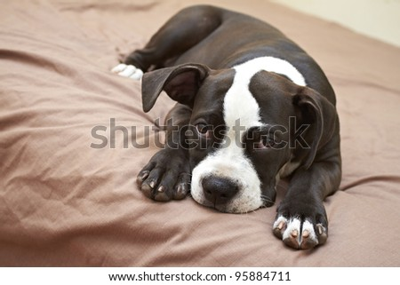 Mischievous Pit Bull puppy lying on soft bed - stock photo