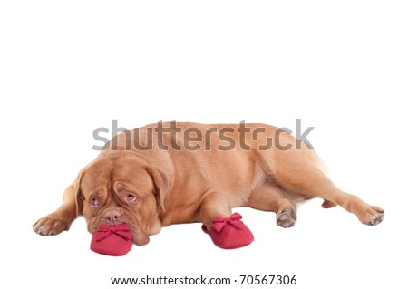 Missing You or Please, Forgive Me Concepts)	- french mastiff puppy with slippers - stock photo