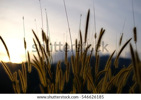 mission grass, view beautiful, Feather pennisetum, Evening time. Soft focus. Flowers background.