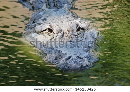 Mississippi Aligator - stock photo
