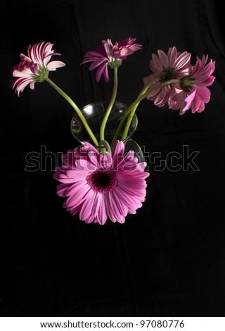 Mist on Pink Gerber Daisy - stock photo