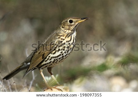 Mistle Thrush Turdus viscivorus - stock photo
