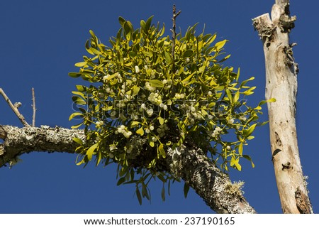 Mistletoe closeup - stock photo