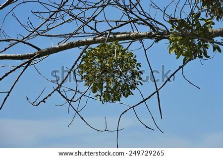 Mistletoe  or Viscum album on the tree  - stock photo