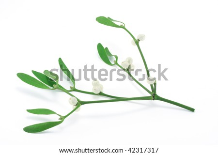 Mistletoe sprig (Viscum album) with berries and leafs, isolated on a white background. - stock photo