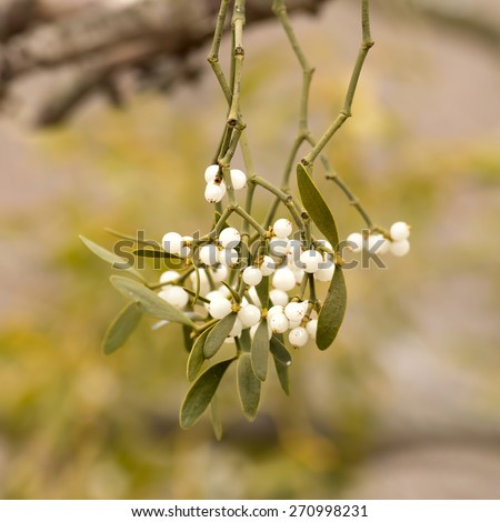 Mistletoe white berries - Viscum album - stock photo