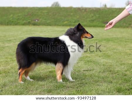 Mistress trains her dog - stock photo