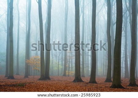 Misty autumn beech forest; ground covered by fallen leaves - stock photo