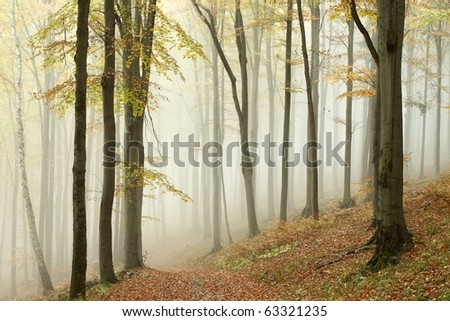 Misty autumn beech forest on the slope in a nature reserve. Photo taken in October. - stock photo