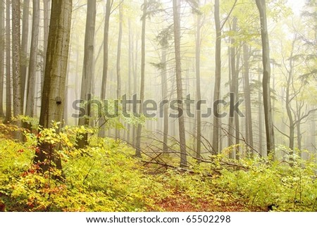 Misty autumn beech forest. Photo taken in the mountains of Central Europe. - stock photo