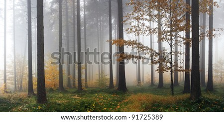 Misty Autumn Forest after rain - stock photo