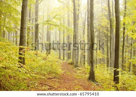 Misty autumn forest after rainfall with beech trees on the slope in a nature reserve. - stock photo