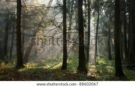 Misty autumnal coniferous stand in morning with sunbeams entering - stock photo