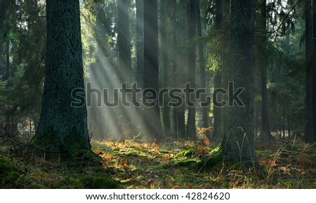 Misty autumnal coniferous stand of Bialowieza Forest at sunrise with old spruces and mossy bottom - stock photo