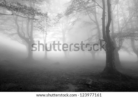 Misty beech forest - stock photo