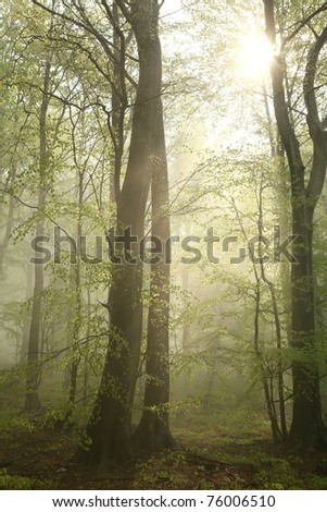 Misty beech forest after spring rains. - stock photo