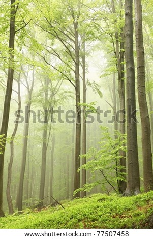 Misty beech forest on the mountain slope in a nature reserve. - stock photo