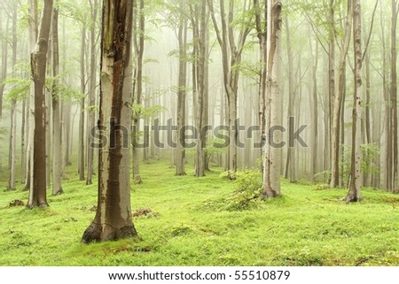 Misty beech forest on the mountain slope in a nature reserve. Photo taken in June.