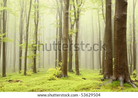 Misty beech forest on the mountain slope in a nature reserve. Photo taken in May. - stock photo