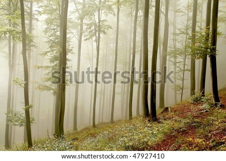 Misty beech forest on the mountain slope in a nature reserve. Photo taken in October. - stock photo