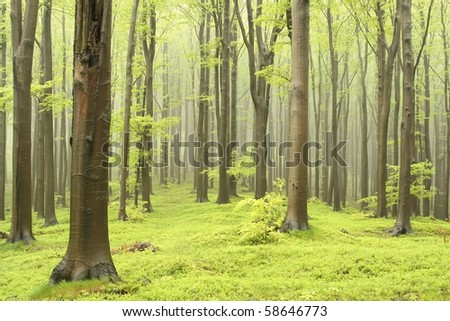 Misty beech forest on the mountain slope in a nature reserve. Picture taken in May. - stock photo