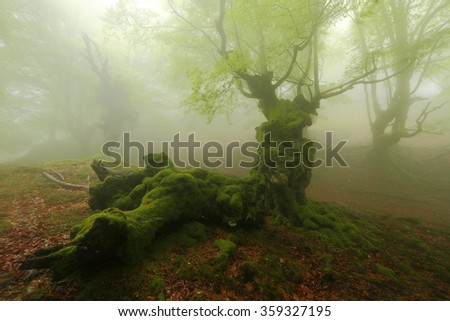 Misty beech wood in Orozko (Biscay, Basque Country) - stock photo