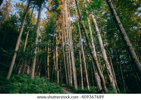 Misty coniferous forest at dawn in Carpathians - stock photo