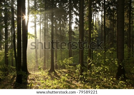 Misty coniferous forest backlit by the morning sun. - stock photo