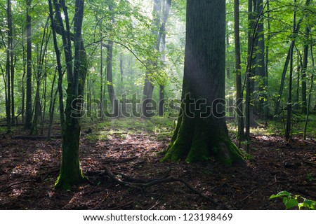 Misty deciduous stand in morning rain after with old trees in foreground - stock photo